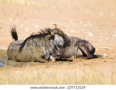 Two Blue Wildebeest (Connochaetes taurinus) sat down dust bathing, kalahari desert, South Africa - stock photo