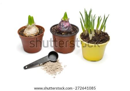 Two bluebells and daffodil in the flower pots and stack of manure. - stock photo