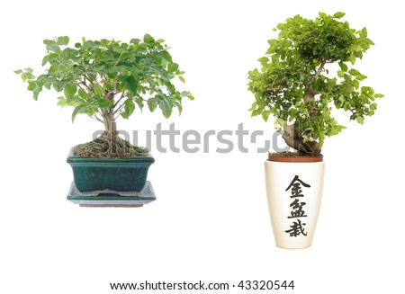 two bonsai photo isolated on a white background