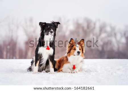Two border collie on a winter walk - stock photo