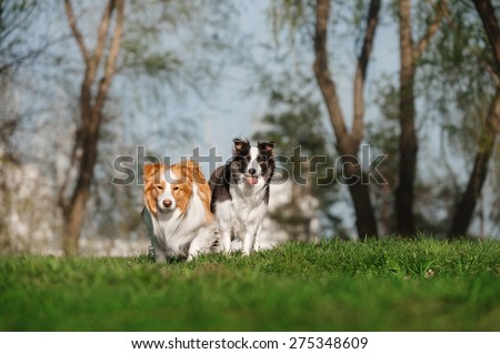 Two Border Collie posing - stock photo