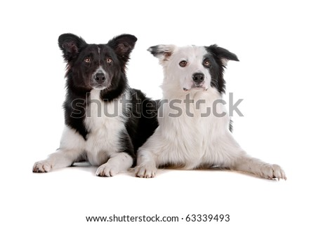 two border collie sheepdog isolated on a white background