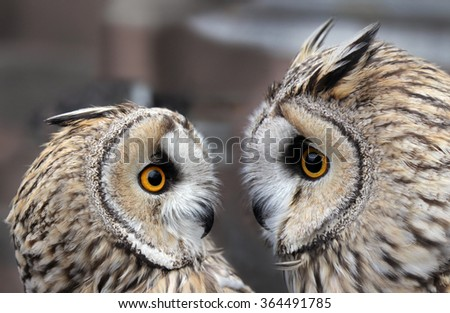 Two Boreal Owls. In Europe, they are typically known as Tengmalm's owls after Swedish naturalist Peter Gustaf Tengmalm or, more seldomly, Richardson's owl after Sir John Richardson. - stock photo