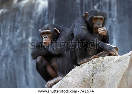 Two bored adult chimpanzees sitting on a cliff - stock photo