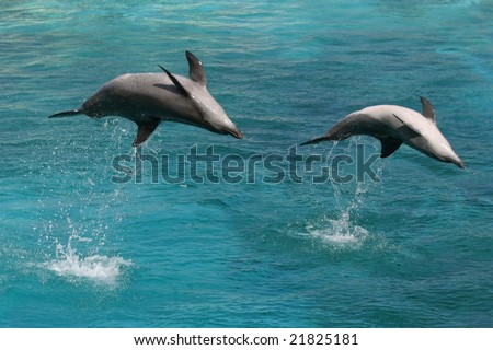 Two bottle nose dolphins jumping in clear blue water - stock photo