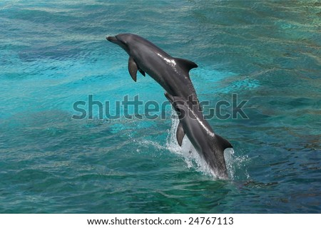 Two bottle-nose dolphins jumping in clear blue water - stock photo