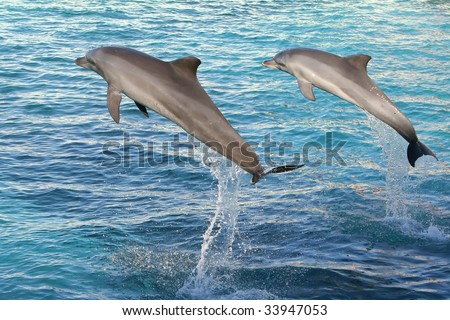 Two Bottlenose dolphins jumping  out of clear blue water - stock photo