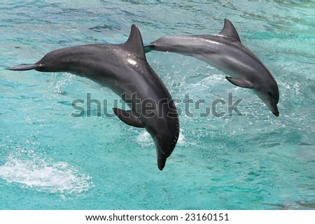 Two bottlenose dolphins jumping out of the sea water - stock photo