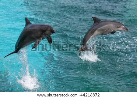 Two bottlenose dolphins jumping out of the water together - stock photo