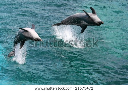 Two bottlenose dolphins jumping out of the water upside down - stock photo
