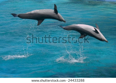 Two bottlenose dolphins jumping upside down in blue water - stock photo