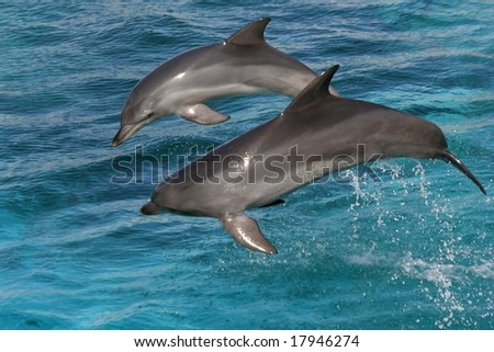 Two bottlenose dolphins leaping out of the blue water - stock photo