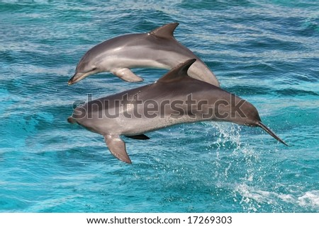 Two bottlenose dolphins leaping out of the water - stock photo