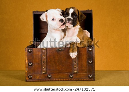 Two Boxer puppies hugging each other while sitting in a wooden box  - stock photo