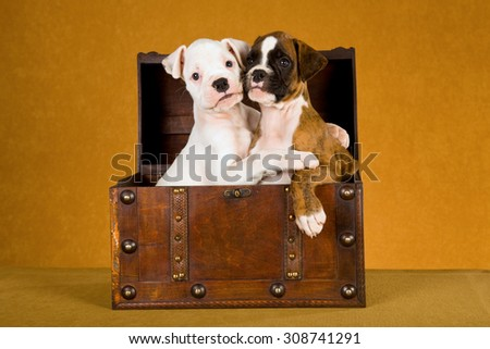 Two Boxer puppies hugging each other while sitting in old wooden box treasure chest on gold brown background - stock photo