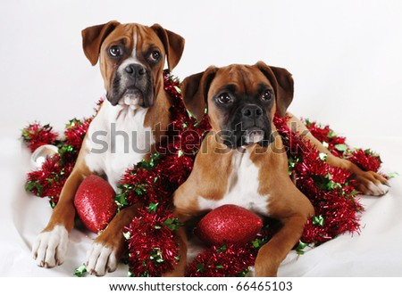Red And White Boxer Dog Stock Images, Royalty-Free Images ...