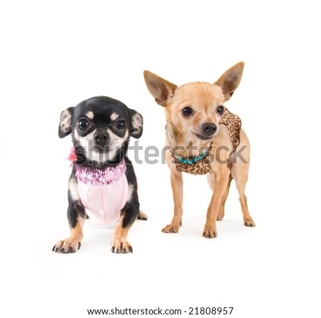 two boy dogs dressed as girl dogs - stock photo