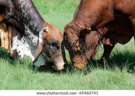 two brahman bulls fighting