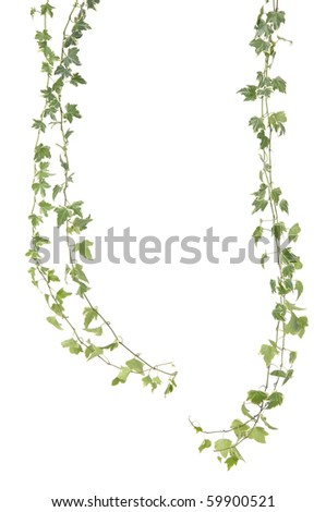 Two branch green ivy leaves - stock photo