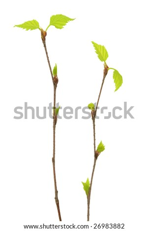 Two branches of a birch. - stock photo