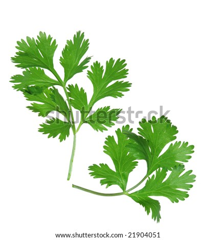 Two branches of coriander cilantro isolated on white - stock photo