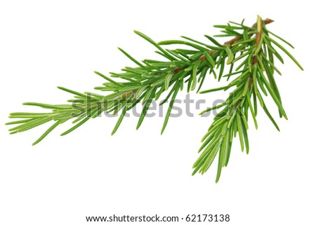 Two branches of rosemary isolated on white - stock photo