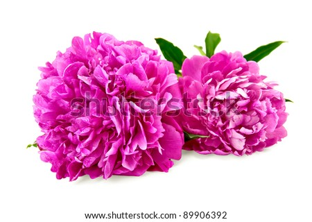 Two bright pink peonies with green leaf isolated on white background - stock photo