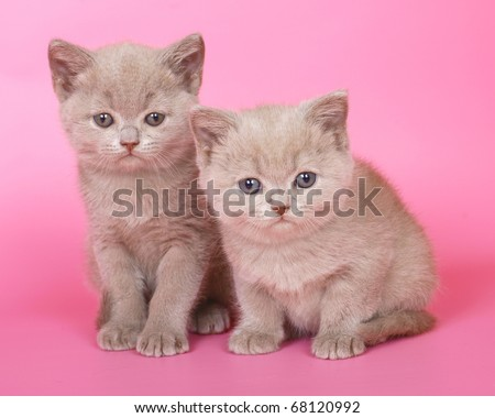 Two British kitten on a pink background.
