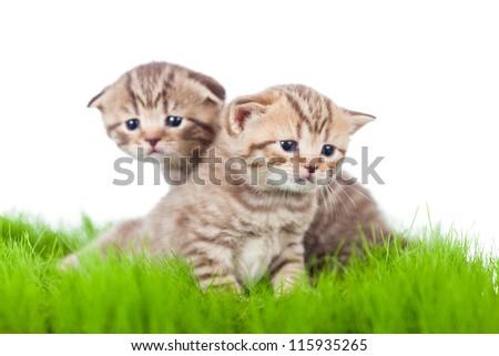 two british kittens on grass - stock photo