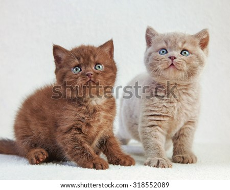 two british kittens on light plaid