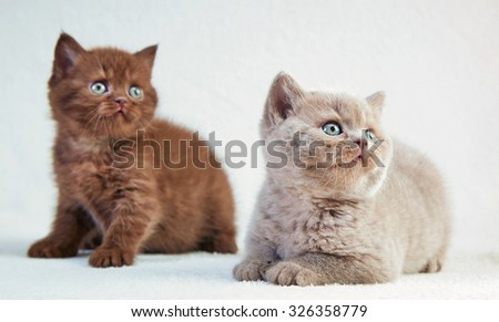 two british short hair kittens, selective focus
