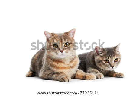 two british shorthair brown cream cats isolated