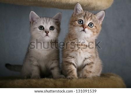 Two British Shorthair kittens - stock photo