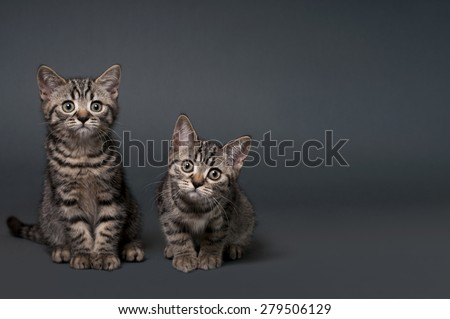 Two British Shorthair kittens on a gray background - text space to the right .