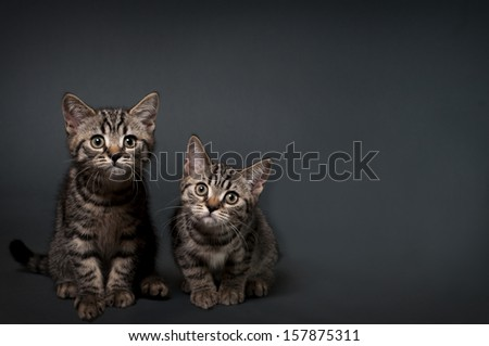 Two British Shorthair kittens on a gray background with space for text.