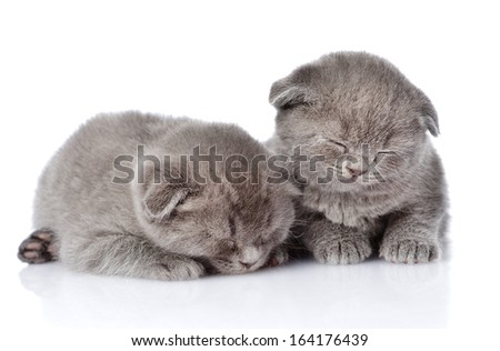 two british shorthair kittens sleeping. isolated on white background