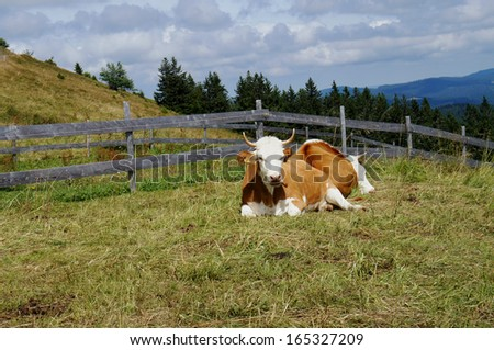 Two brown and white cows lie on a pasture in the Black Forest in Germany, in the background forests and the slopes of the Feldberg, cloudy sky/Cows in the Black Forest - stock photo