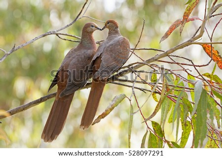 Two Brown Australian Cuckoo Doves (Macropygia Amboinensis Columbidea) on the branch of a gum tree
