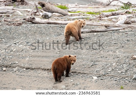 Two brown bear cubs climbing up from the beach turn around to look at photographer - stock photo
