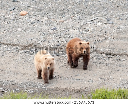 Two brown bear cubs walking along the beach - stock photo