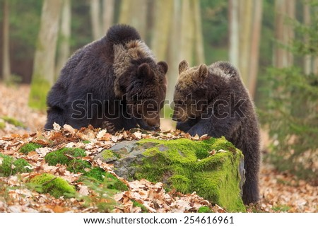 Two brown bears - stock photo
