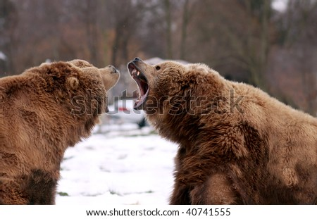 Two brown bears challenging one another - stock photo