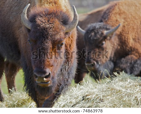 Two brown Buffalo moving toward viewer with lead buffalo head in focus and soft background - stock photo