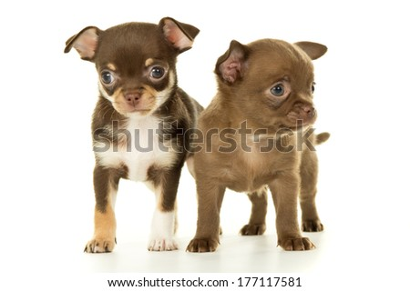 two brown chihuahua puppy standing - stock photo