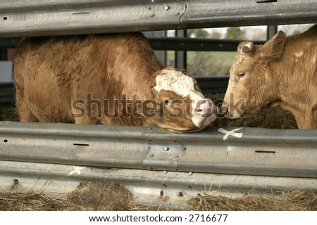 Two brown cows in a metal barn