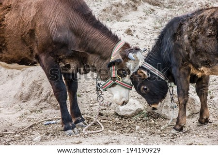 Two brown cows in love - stock photo