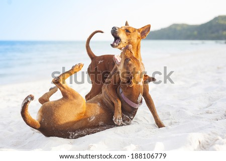 Two brown dogs playing on the sandy beach - stock photo