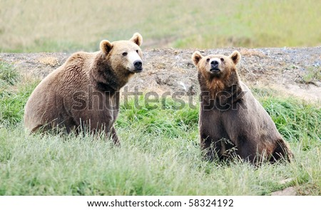 Two brown grizzly bears sitting erect in green grassy meadow, looking toward viewer - stock photo