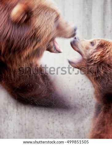 Two brown grizzly bears, Ursus arctos, fighting shot with slow shutter speed for motion blur
