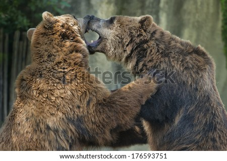 Two brown grizzly bears while fighting close up portrait - stock photo
